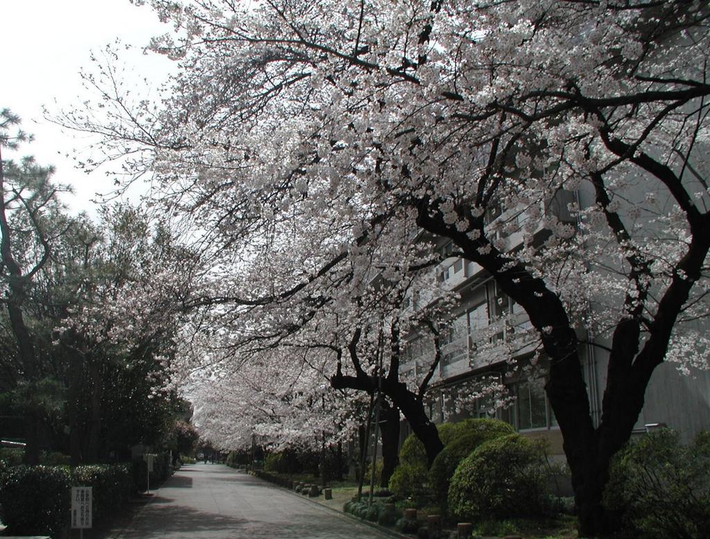 平成18年4月2日 成蹊桜祭り 1