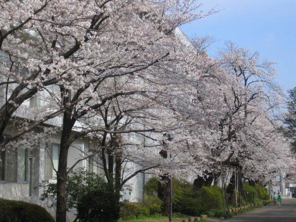 小学校前の桜(成蹊の桜情報)