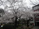 平成18年4月2日 成蹊桜祭り 2